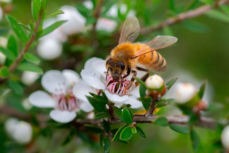 Abeja recogiendo miel de manuka